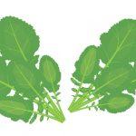 新陳代謝や成長促進に効果的なからし菜